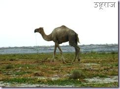 Ganga Camel
