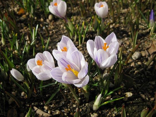 2010-03-29 Vårblomster i sola (1)
