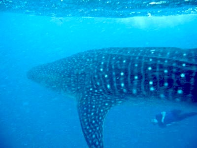 whale shark attack. Swimming with a whale shark
