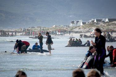 Whales beach in Kommetjie, Cape Town, South Africa.  It was like triage, whales all over.