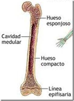 clases de huesos