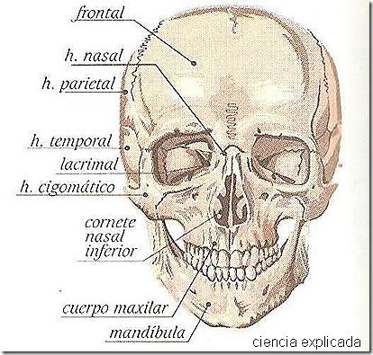 Nombres de los huesos de la cabeza - Imagui