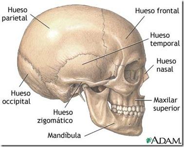 huesos de la cara2