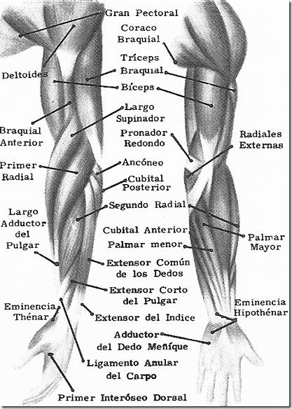 Músculos de las extremidades superiores - Ciencia Explicada