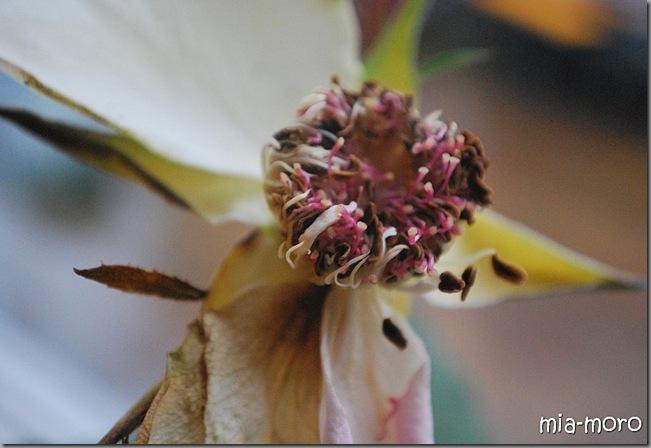 rosevissen
