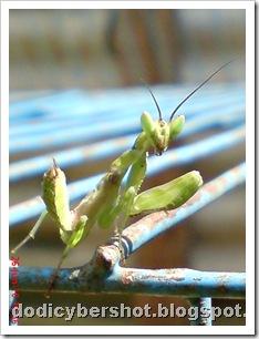 young praying mantis 01