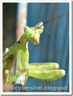 young praying mantis 02