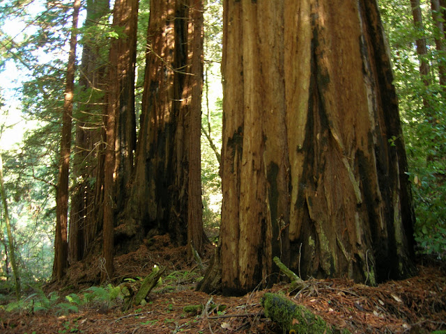 Giant Redwoods at Shaw Flat