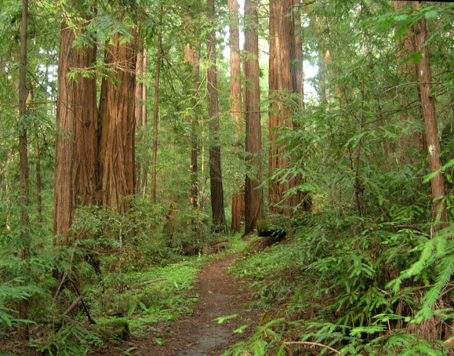Lush redwood forest