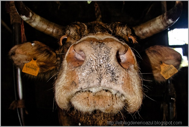 Vaca-Tigre-2