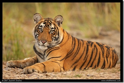 n_young_tiger