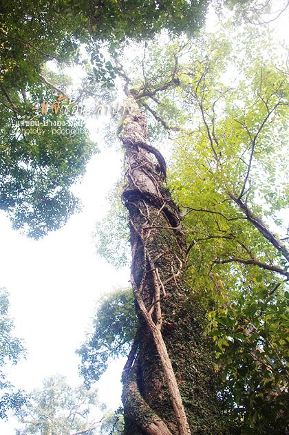 ต้นไม้ใหญ่ใน อุทยานฯแจ้ซ้อน
