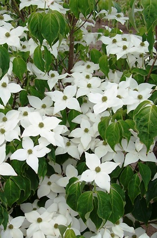 [Cornus_Milky_Way_Flowers_6-7-07[2].jpg]
