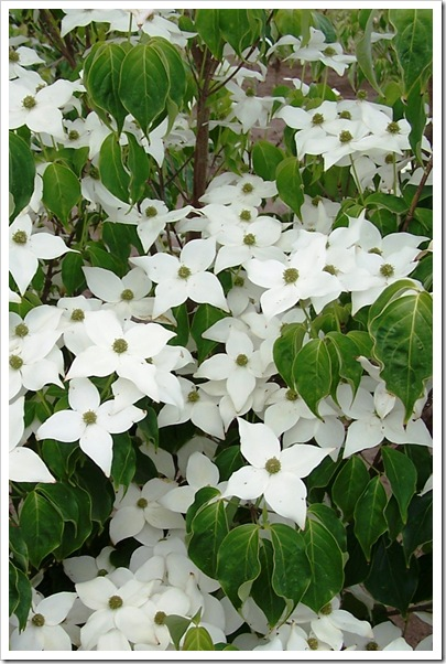 Cornus_Milky_Way_Flowers_6-7-07