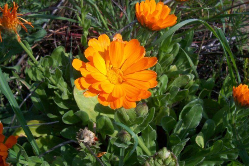 Calendula officinalis calendula fiorrancio coltivato marigold pot