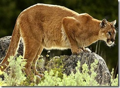 mountain-lion_Full