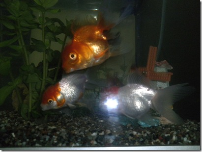 ikan emas 2