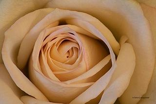 White-Rose_1