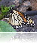 monarca-pone-huevos
