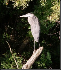 Great Blue Heron, Acton Lake, Sugar Shack, Aug 2006
