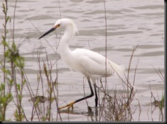 Snowy Egret, Crane Creek, 23 Apr 06-2
