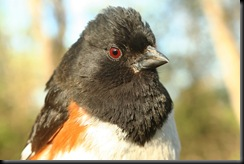 Eastern Towhee, portrait, 16Apr07, MUBO, Resized