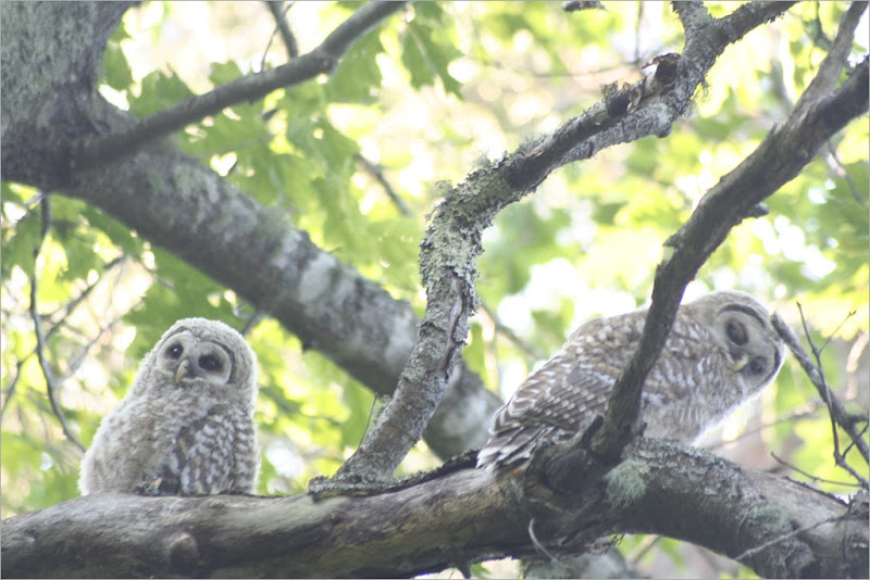 BardOwl_Fledglings-59