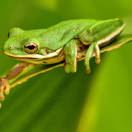 Life is a Leaf by Jeff Clow - Animals Amphibians ( macro, nature, frog, green, amphibian, leaf )