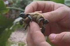 tartaruga_de duas cabeças-cortada