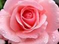 rosa-rosa3