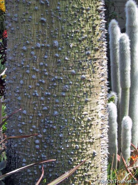 Thorniest Trees