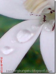 kembang putih 1895