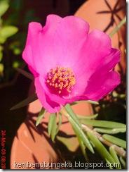 Portulaca grandiflora Hook 4539