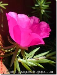 Portulaca grandiflora Hook 4538