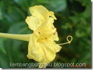 bunga pukul 4 kuning 2773