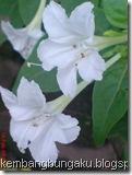 bunga pukul 4 putih 2820