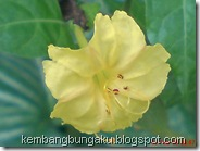 bunga pukul 4 kuning 2288
