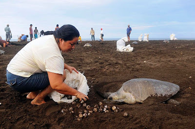Woman Picking Sea Turtles Eggs