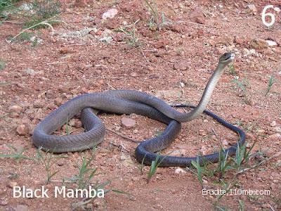 Black Mamba Dendroaspis Polylepis