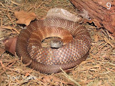 Tiger Snake Notechis Scutatus