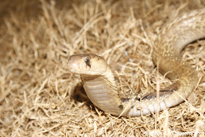 Indian Cobra Photo
