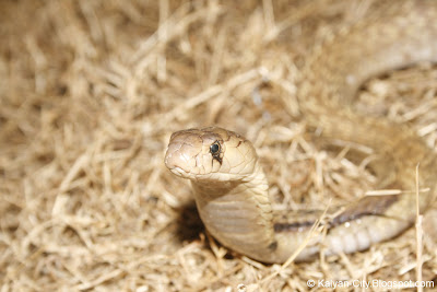 Picture of Indian Cobra