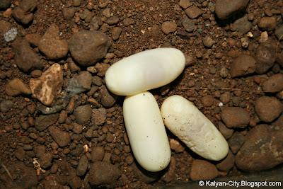Comman Wolf Snake Eggs