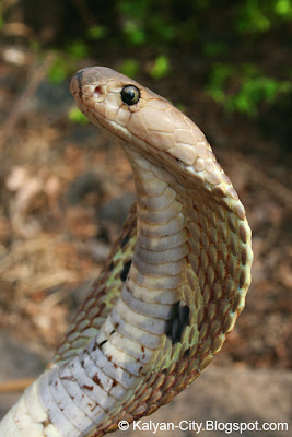 Spectacled Cobra Picture