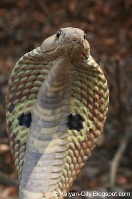 Snake Hood