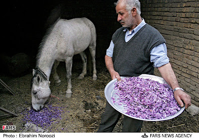 Saffron flowers fed to donkey