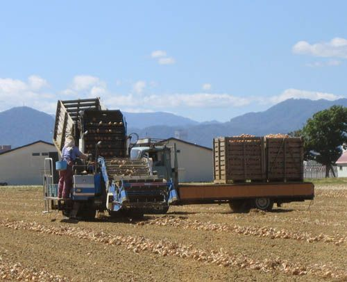 玉ねぎの収穫