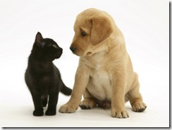 1140677~Black-Domestic-Kitten-Felis-Catus-and-Labrador-Puppy-Canis-Familiaris-Looking-at-Each-Other-Posters