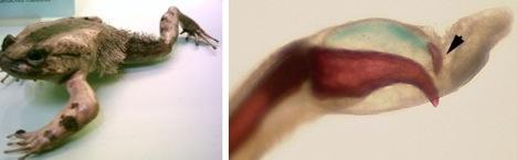 katak berambut Mekanisme Pertahanan Diri Hewan Yang Dahsyat
