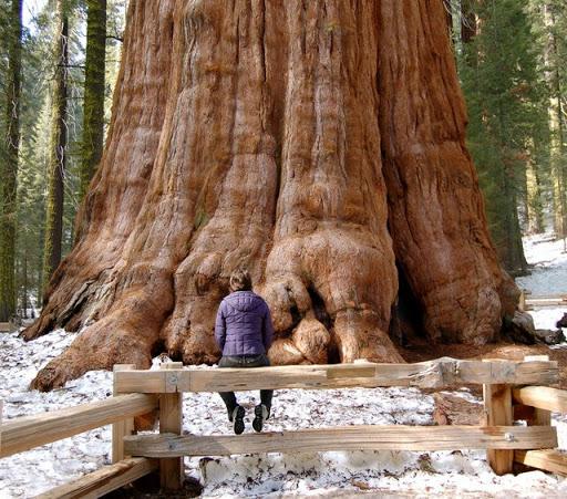 pohon terbesar, pohon raksasa, pohon paling besar